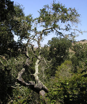 Photo of oak at El Chorro Regional Park
